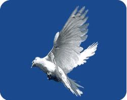 Запуск голубей. Запуск голубей на свадьбе не только традиция.