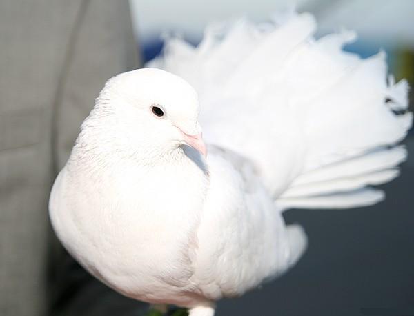 Запуск голубей. Голуби могут стать украшением Вашей свадьбы.