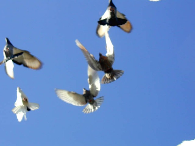Запуск голубей. Запуск голубей на свадьбе.